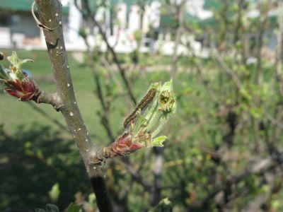 新芽を食べるエゾシロチョウの幼虫
