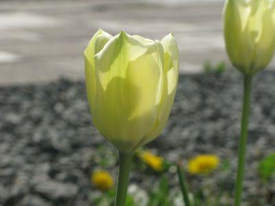 一番始めに咲いたチューリップ